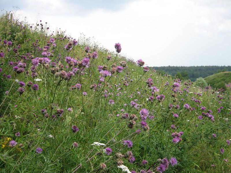 Название и картинки трав растущих в башкирии